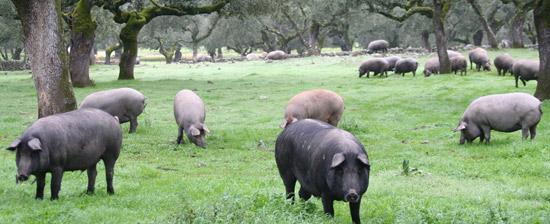 BEST_FOOD_SPAIN_IBERIAN_PIGS